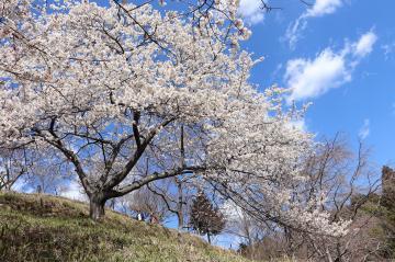3月20日 桜華園オープン予定の写真